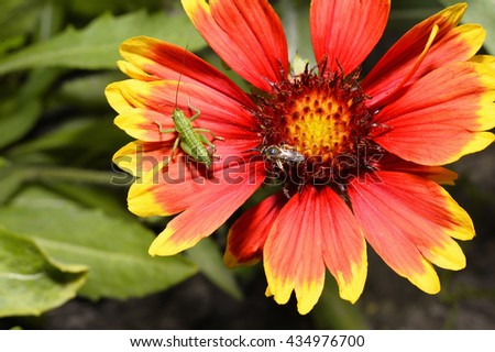 Green grasshopper and bee on a flower orange-yellow helenium macro - stock photo