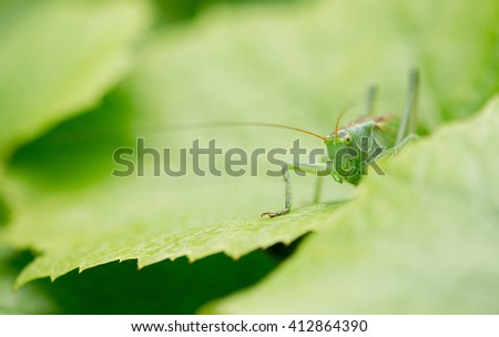 Green grasshopper close up on a green background outdoors - stock photo