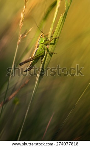 Green grasshopper macro - stock photo