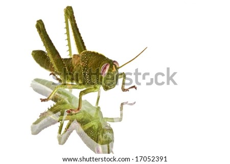 Green grasshopper on a mirror plate