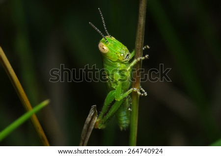Green grasshopper on grass close-up.  - stock photo