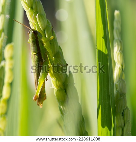 green grasshopper on paddy rice of pest agriculture - stock photo