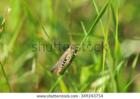 green grasshopper sits on a blade of grass - stock photo