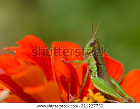 Green grasshopper sitting on orange daisy flower, macro. - stock photo