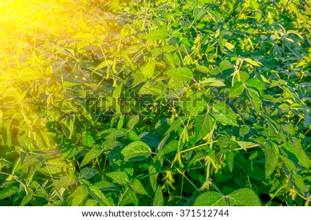 Green growing soybeans on a sunny day - stock photo
