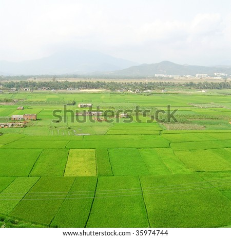 green growth of rice with sanya airport in the background