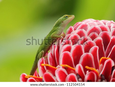 Green Hawaiian Gecko on a flower with a green background - stock photo