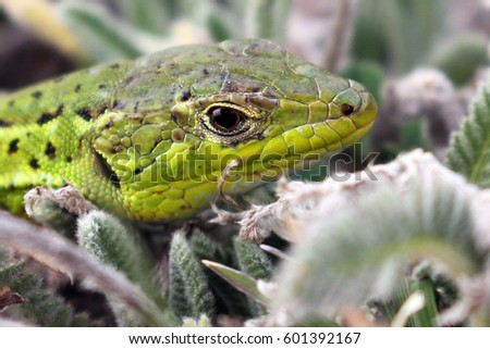 green head lizard