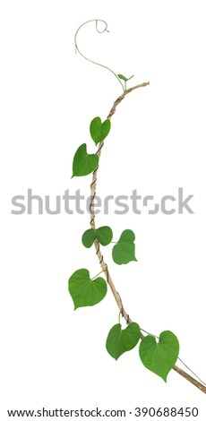Green heart shaped leaf climbing plant on dried twig isolated on white background, clipping path included - stock photo