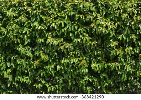 Green Hedge background image. Ideal urban modeling background for fashion or pop music industry. Also ideal background for sign; poster or street name. - stock photo