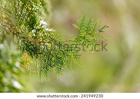 Green Hedge of Thuja Trees - stock photo