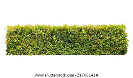 green hedge on isolated , add Clipping path  - stock photo
