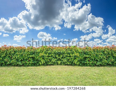 green hedge or Green Leaves Wall on  Cloudy sky background. - stock photo
