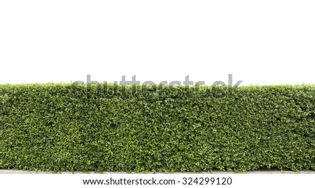 green hedge or Green Leaves Wall on isolated, add Clipping path  - stock photo