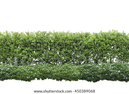 Green hedge or Green Leaves Wall on isolated,Objects with Clipping Paths - stock photo