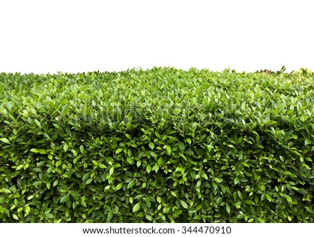 Green hedge with fetus isolated on white background - stock photo
