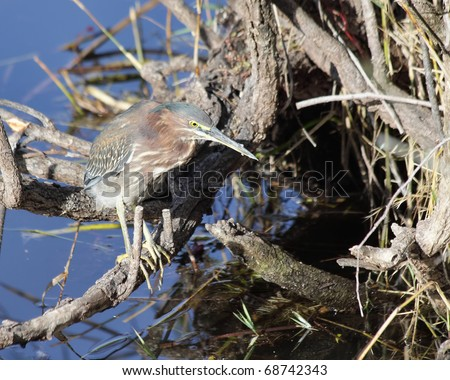 Green heron (Butorides virescens) perching on a branch waiting to catch a catfish diner - stock photo