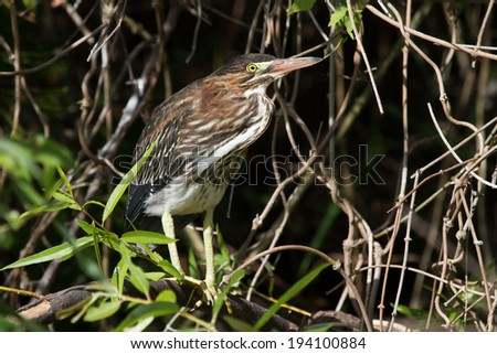 Green Heron in the mangroves - stock photo