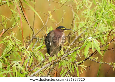 green heron or Butorides virescens perched on a branch in the Everglades National Park - stock photo