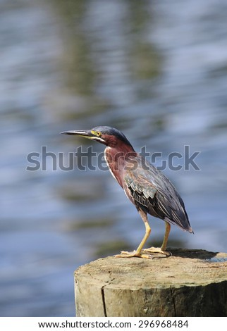 Green Heron Perched on a Dock Post - stock photo