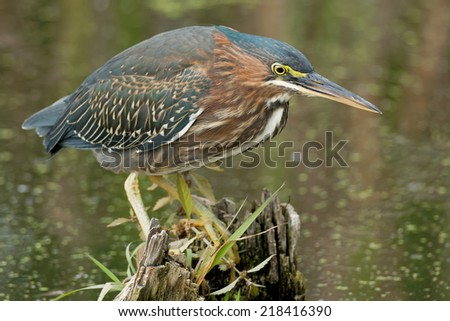 Green Heron perched on a stump in a swamp looking for a meal.