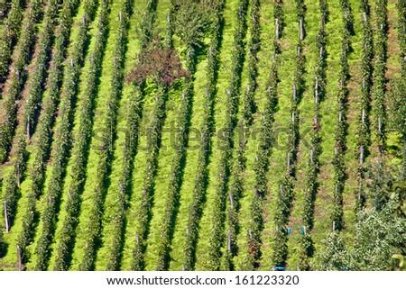 Green hill vineyard aerial view, Croatia - stock photo