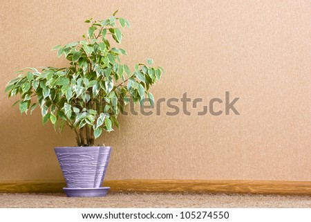 Green home plant in flowerpot. Interior background - stock photo