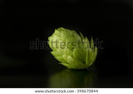 Green hop cone isolated on black background / Freshly harvested hop flower for beer making / Green fresh hops cone - stock photo