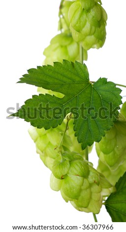 Green hop on white, plant