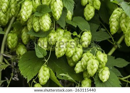 Green hops - stock photo