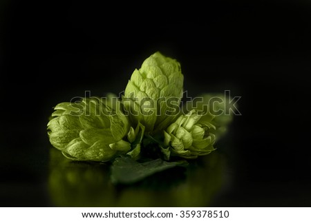 Green hops cones on black background / Freshly harvested hops flowers for beer making / Green fresh hops cones - stock photo
