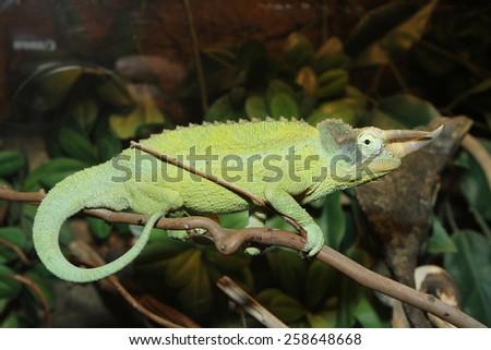 Green Horned Chameleon poses on rainforest branch - stock photo