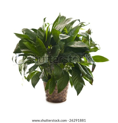 Green houseplant in basket isolated on white background