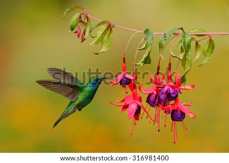 Green hummingbird Green Violet-ear, Colibri thalassinus,  flying next to beautiful pink and violet flower, Savegre, Costa Rica - stock photo