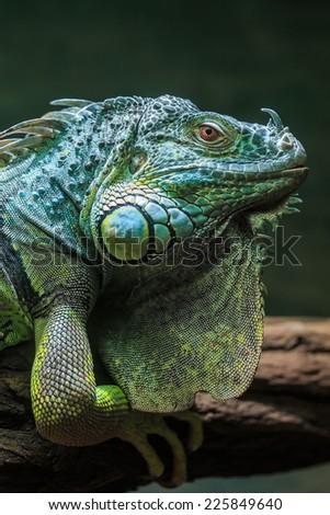 Green iguana close up - stock photo