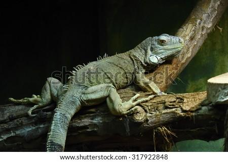 Green iguana (Iguana iguana) - stock photo