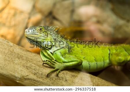 Green iguana (Iguana iguana) on tree - stock photo