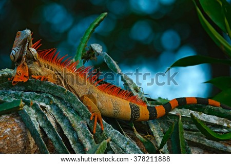 Green iguana, Iguana iguana, portrait of orange big lizard in the dark green forest, animal in the nature tropic forest habitat, Corcovado National Park, Costa Rica - stock photo