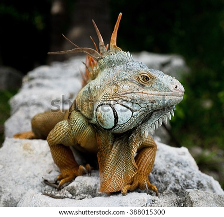 Green Iguana (Latin name: Iguana iguana)