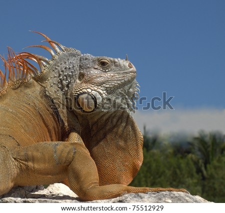 "Green Iguana (Latin name: Iguana iguana)looking over his shoulder as if to say ""Are you kidding me?"".  This critter was about 4' long and seen in the Mexican Yucatan. - stock photo"