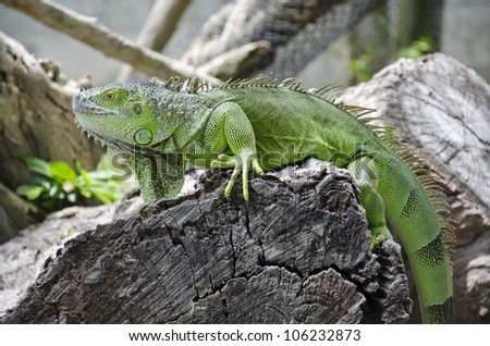 Green Iguana on ground