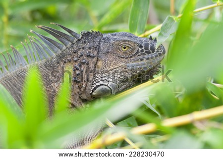 Green Iguana Portrait - Arenal Volcano National Park, Alajuela province, Costa Rica - stock photo