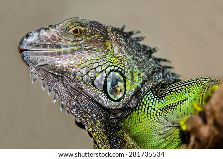 Green Iguana reptile with delicately detailed skin - stock photo