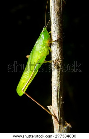 green insect grasshopper on a branch with balck background - stock photo