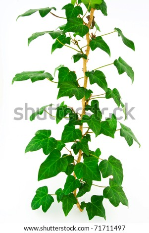 Green ivy - stock photo