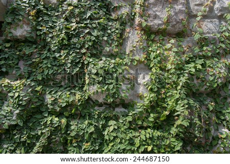 green ivy and stone wall in ornamental garden - stock photo