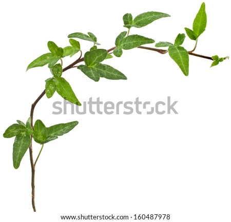 Green ivy border plant ( Hedera helix ) close up isolated on white background  - stock photo