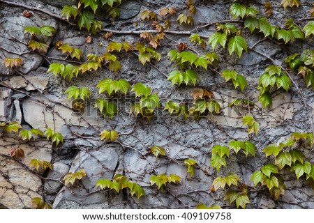 Green ivy climber tree on old concrete wall - stock photo