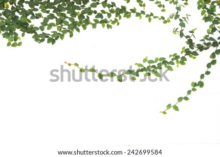 green ivy climbing fig isolated - stock photo