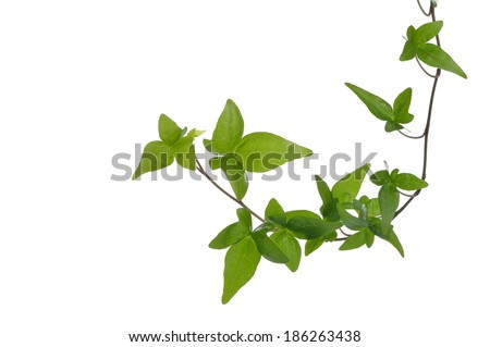 Green ivy (Hedera) plant isolated on white background. Creeper Ivy stem with young green leaves. - stock photo